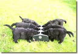 Beartown Newfoundland puppies using WEANAFEEDA MAXI 6