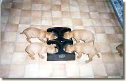 Vereker Hungarian Vizsla puppies using the WEANAFEEDA MINI 4