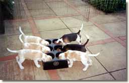 Valsacre Beagle puppies using the WEANAFEEDA MINI 6