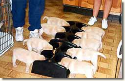 Eneleon Labrador puppies using the Weanafeeda Maxi 6 & Maxi 4