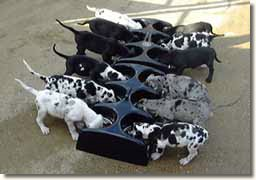 Cheney Great Dane puppies using the Weanafeeda Maxi 6