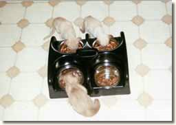 Kittens using the Weanafeeda Mini 4